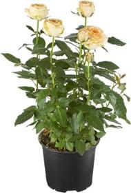 Roses en pot blanc 10.5cm