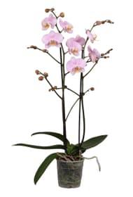 Phalaenopsis 2 Pousses rose