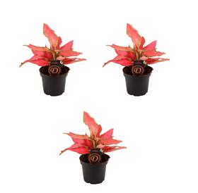 Aglaonema Cherry Baby (Set da 3) Ø 12 cm Pianta ornamentale 650363300000 N. figura 1
