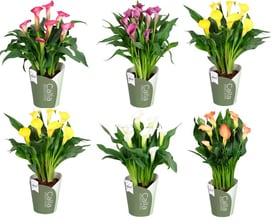 Calla Zantedeschia Farbenmix (6er Set) Ø13cm Blühpflanze 650362400000 Bild Nr. 1