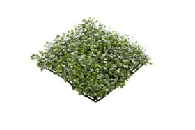 Buxus tapis vert