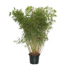 Assortiment de bambous fargesia 15 l