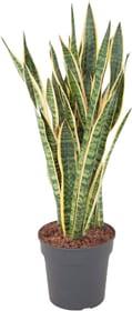 Sansevieria Laurentii Ø27cm Plante verte 650334000000 Photo no. 1