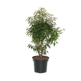 Portugiesischer Lorbeer Prunus Angustifolia 7l Heckenpflanze 650168000000 Bild Nr. 1
