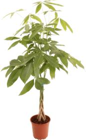 Pachira avec tronc torsadé 19 cm