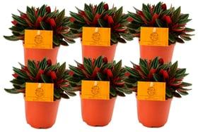 Peperomie Peperomia Rosso (6er Set) Ø10.5cm Grünpflanze 650357800000 Bild Nr. 1