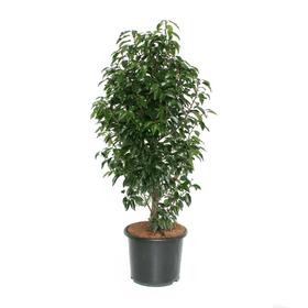 Laurier portugais 15l Plante pour haies 650168100000 Photo no. 1