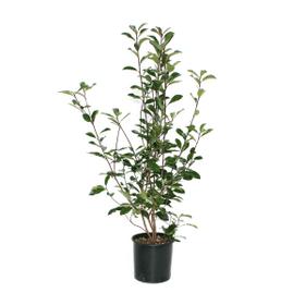 Photinia Red Robin H80-100cm