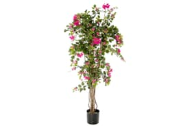 Bougainvilliers rose