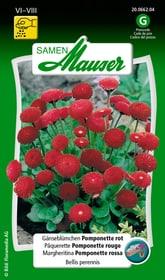 Pâquerette Pomponette rouge Semences de fleurs Samen Mauser 650101501000 Contenu 0.125 g (env. 80 plantes ou 4 m²) Photo no. 1