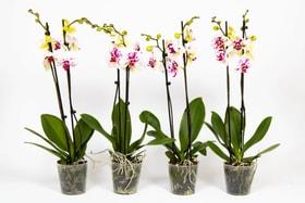 Schmetterlingsorchidee Phalaenopsis Weiss-gefleckt (4er Set) Ø12cm Orchidee 650368000000 Bild Nr. 1