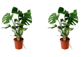 Faux philodendron monstera deliciosa (set de 2) Ø19cm Plante à feuilles décoratives 650363100000 Photo no. 1