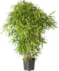 Pseudosasa japonica (bambou) 10 l