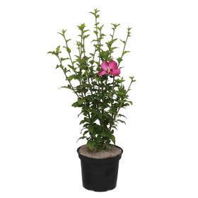 Garten-Hibiskus Hibiscus Woodbridge Ø22cm Ziergehölz 650167800000 Bild Nr. 1
