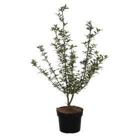 Liguster Ligustrum Vulgare 3l Heckenpflanze 650170900000 Bild Nr. 1