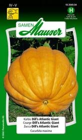Zucca Dill's Atlantic Giant Sementi di verdura Samen Mauser 650111801000 Contenuto 10 semi (ca. 3 - 5 piante o 10 m²) N. figura 1