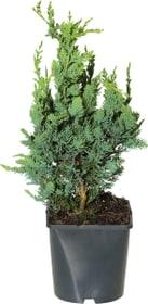 Chamaecyparis lawsoniana Wisselii 17cm
