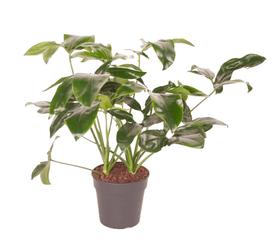 Philodendron Green Wonder Ø24cm Blattschmuckpflanze 650335900000 Bild Nr. 1