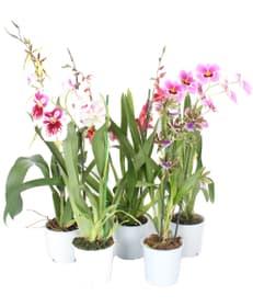 Assortiment d'orchidées parfumées