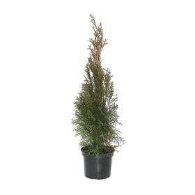 Lebensbaum Thuja Smaragd Ø19cm Heckenpflanze 650140500000 Topfgrösse 19cm Bild Nr. 1