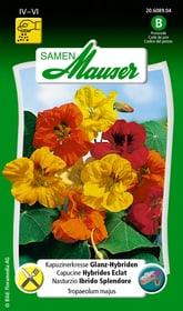 Kapuzinerkresse Glanz-Hybriden Blumensamen Samen Mauser 650107807000 Inhalt 5 g (ca. 25 Pflanzen oder 5 m² ) Bild Nr. 1