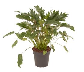 Philodendron Xanadu Ø24cm Plante à feuilles décoratives 650334500000 Photo no. 1
