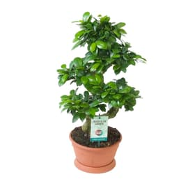 Bonsaï Ficus Ginseng Bonsaï 650337000000 Photo no. 1