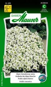 Arabis alpina bianco Sementi di fiori Samen Mauser 650101401000 Contenuto 0.5 g (ca. 100 piante o 5 - 8 m²) N. figura 1