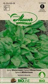 Spinat Winterriesen Gemüsesamen Samen Mauser 650158500000 Bild Nr. 1