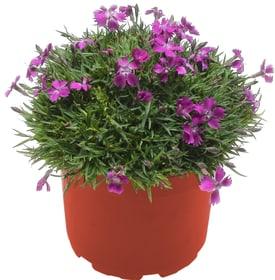 Dianthus Kahori 18cm