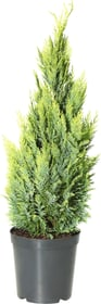 Chamaecyparis lawsoniana ellwoodii Empire 7l