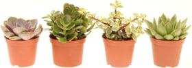 Assortiment de succulentes