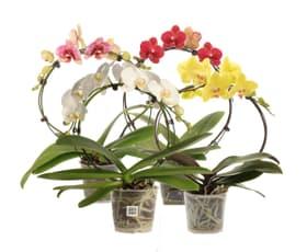 Phalaenopsis Arche 12cm