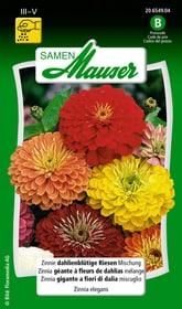 Zinnia géante à fleurs de dahlia mélange