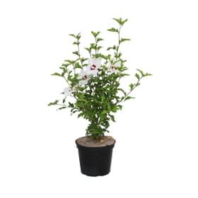 Hibiscus syr. 10l