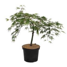 Acero giapponese Dissectum Arbusto ornamentale 650340900000 N. figura 1