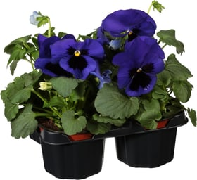 Viola wittrockiana 4pcs