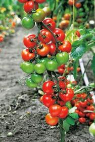 BIO pomodoro cherry 18cm