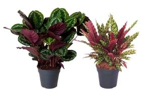 Combinazione di piante d'appartamento Calathea (set da 2) Ø27cm Pianta verde 650335600000 N. figura 1