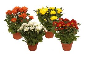 Chrysanthemen indicum 12cm