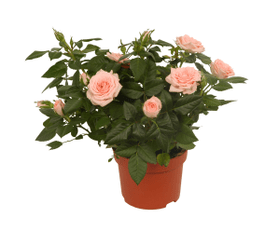 Roses pot rose / lilas 10.5cm