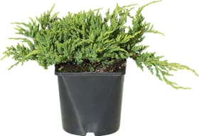 Juniperus horizontalis Prince of Wales 17cm