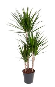Drachenbaum Dracaena Marginata Ø21cm Grünpflanze 650359500000 Bild Nr. 1