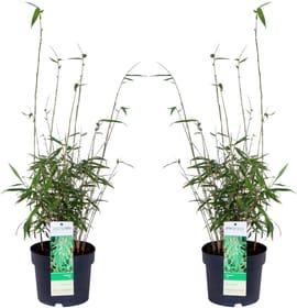 Bambù Fargesia rufa (Set da 2) Ø 19 cm Arbusto ornamentale 650361700000 N. figura 1