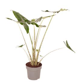 Alocasia Zebrina Ø32cm Plante à feuilles décoratives 650333800000 Photo no. 1
