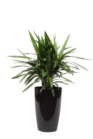 Yucca in coprivaso Ø29cm Pianta verde 650335100000 Colore del vaso Nero N. figura 1