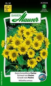 Girasole nano Pacino Sementi di fiori Samen Mauser 650104102000 Contenuto 50 semi (ca. 30 piante o 1.5 - 2 m²) N. figura 1