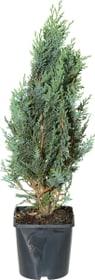 Chamaecyparis lawsoniana Glauca 17cm