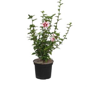 Garten-Hibiskus Hibiscus Hamabo Ø22cm Ziergehölz 650167900000 Bild Nr. 1