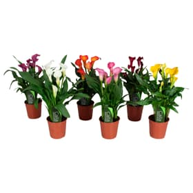 Combinazione di calle (set di 6 piante) Ø13cm Pianta da fiore 650337200000 N. figura 1